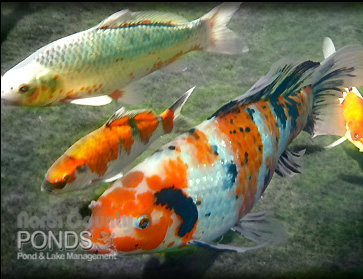 Koi identification north county san diego koi pond for Fish pond care