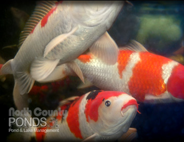 Koi identification north county san diego koi pond for Koi fish pond maintenance