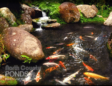 Koi ponds north county san diego koi pond maintenance for Koi pond maintenance service