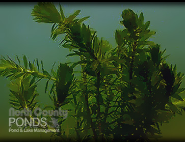 Submerged pond plants north county san diego koi pond for Koi ponds near me
